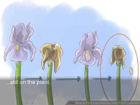 How To Take Care Of Irises When Their Flowers Die Youtube Flowers Home And Garden Iris