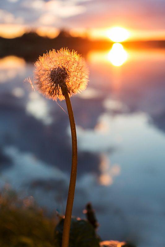 dandelion sunset related keywords - photo #47