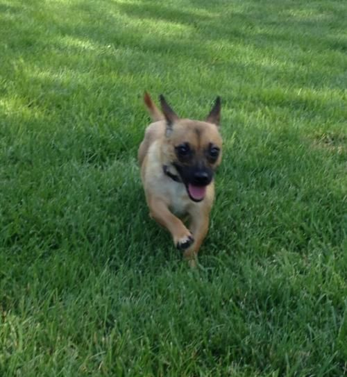 Meet Angie, a Petfinder adoptable Chihuahua Dog