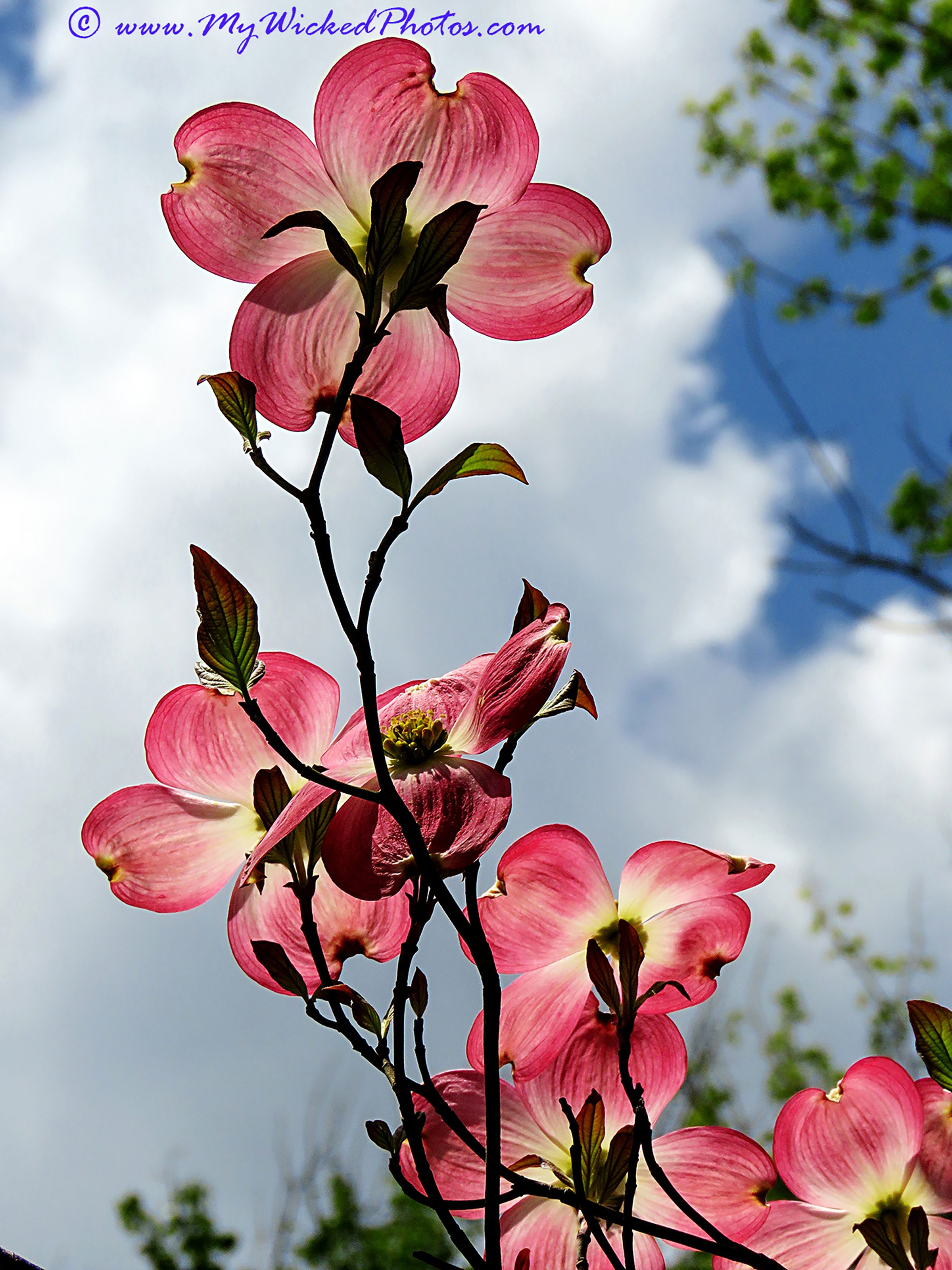 Dogwood Canvas Dogwood Prints Pink Dogwood Wall Hanging Floral