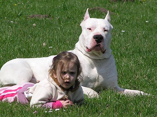 Know Your Dogo Argentino 39 S Temperament Canineplanet Dog Argentino Beautiful Dogs Dogo Argentino
