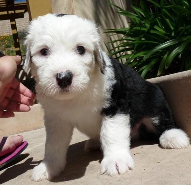 Old English Sheepdog Dog For Sale Shaggy San Diego Akc Old