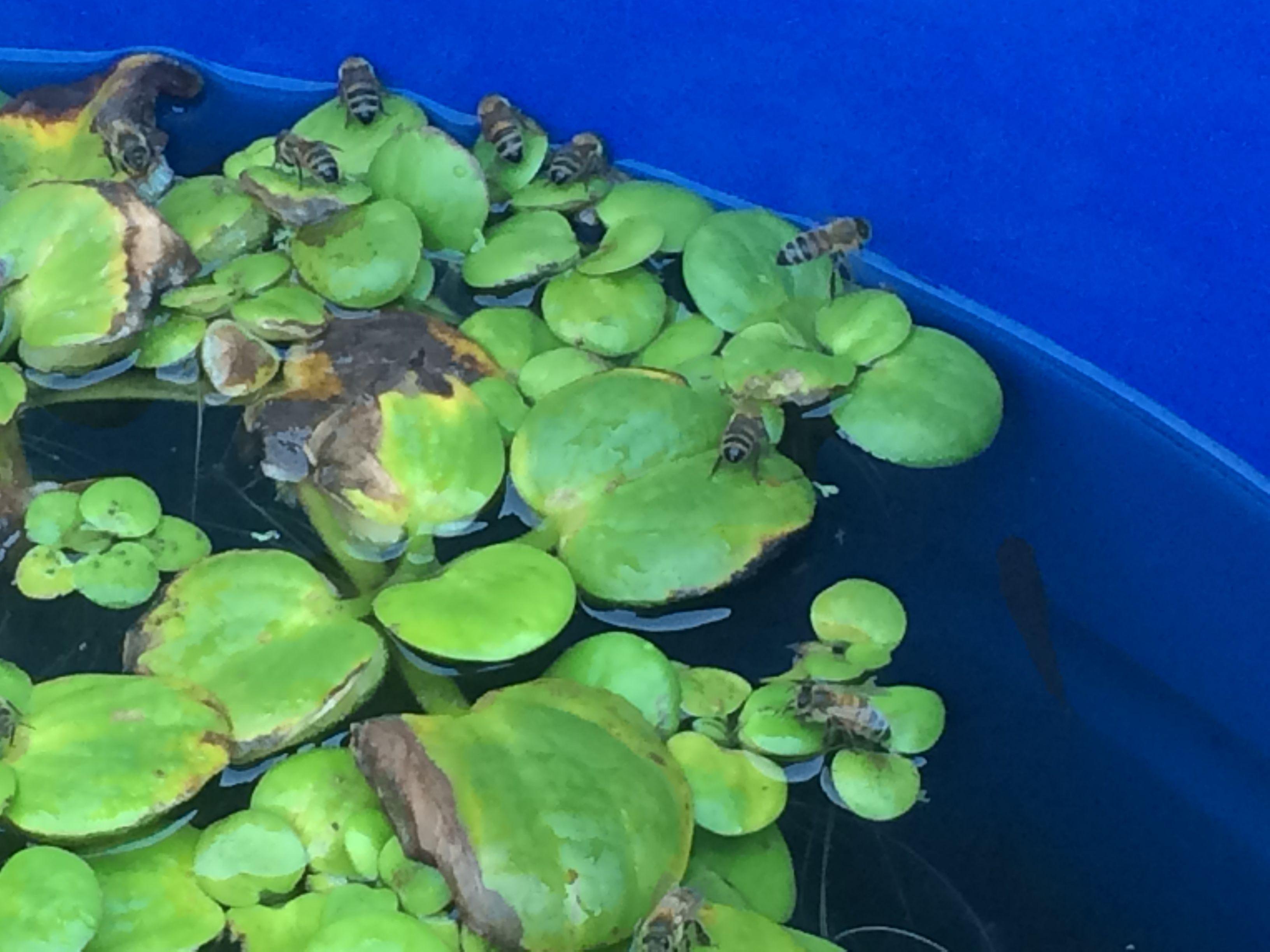 Cuando hay escasez de agua. Lo ideal colocar plantas acuáticas en baldes con agua, para que las abejas puedan tomar agua.