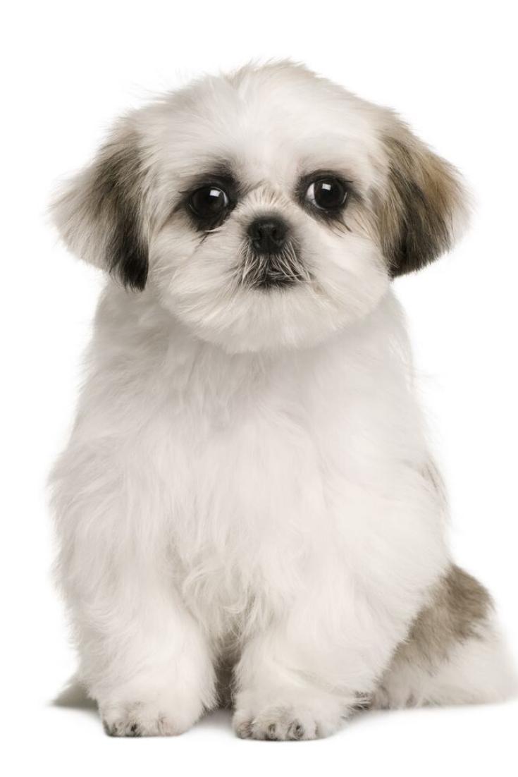 Shih Tzu Puppy 4 Months Old Sitting In Front Of White Background Shihtzu Shih Tzu Puppy Shih Tzu Dog Shih Tzu