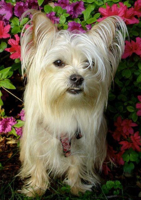 Yorkiemaltesemix Poppy The Maltese Yorkie Mix Pictures 7779