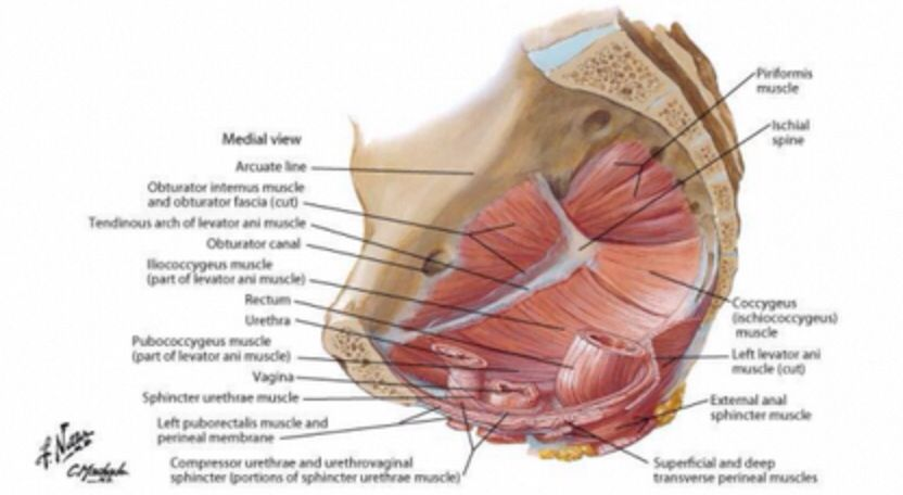Deep Pelvic Muscles Netter Anatomy Pinterest Muscles And