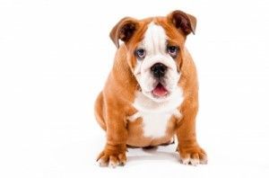 Dog Facts The Bulldog Dog Facts Dogs Puppies Dogs