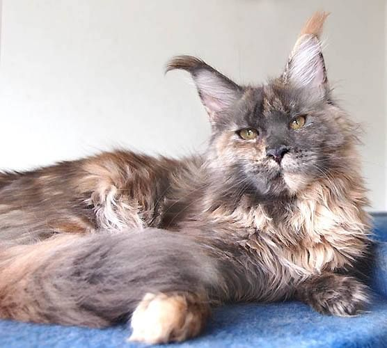 Pin On Maine Coon