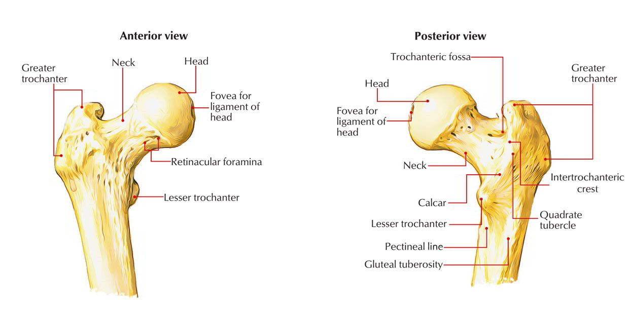 Anatomy Of A Great Picture: Hip Anatomy, Anatomy, Medical Coding