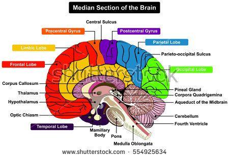 Median section of human brain anatomical structure diagram median section of human brain anatomical structure diagram infographic chart with all parts cerebellum thalamus hypothalamus lobes central sulcus medulla ccuart Choice Image