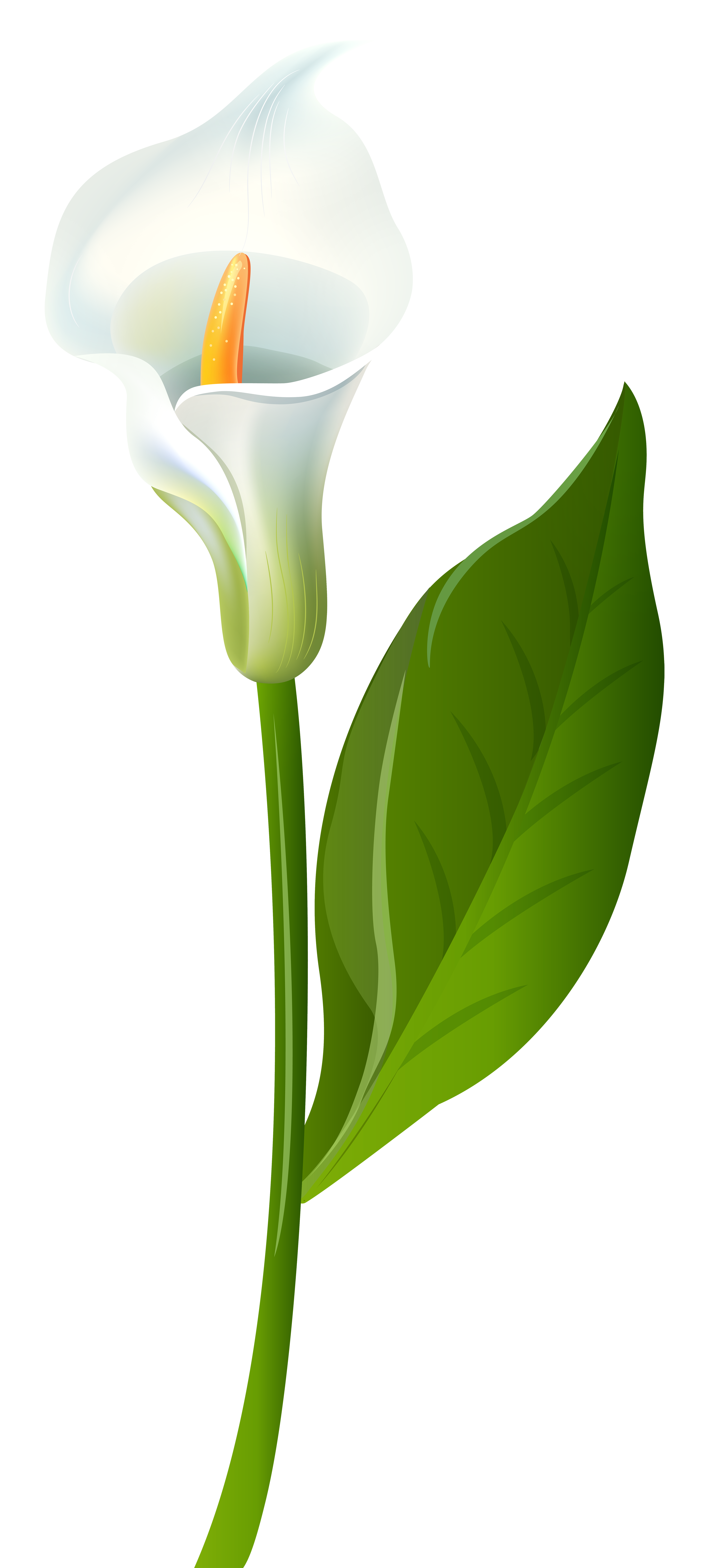 Calla Lily Transparent Png Clip Art Image Gallery Yopriceville High Quality Images And Transparent Png Free Clipart Lilies Drawing Calla Lily Art Images