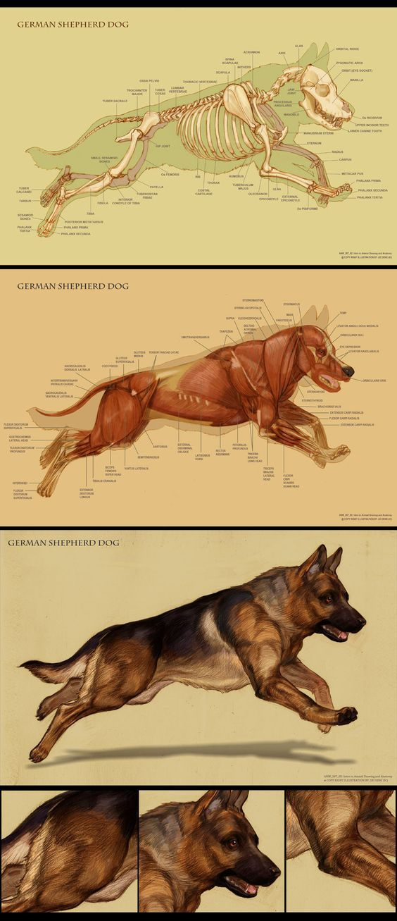 dog anatomy by ic ico more
