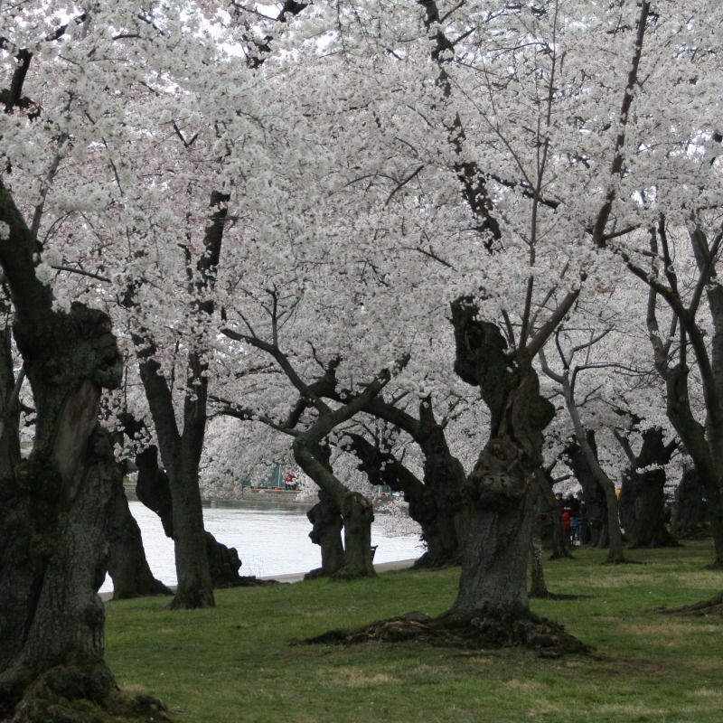 I Want To Live In These Trees Blossom Trees Cherry Blossom Tree Cherry Blossom