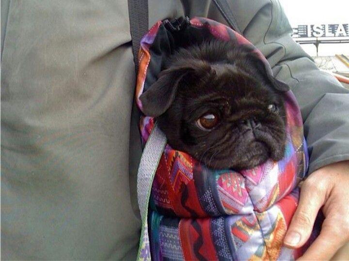 Pug Cool Morning Walks Pugs Pug Love Pugs And Kisses