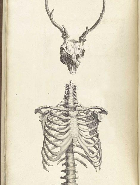 human chest and deer skull | Illustrations I Love | Animal