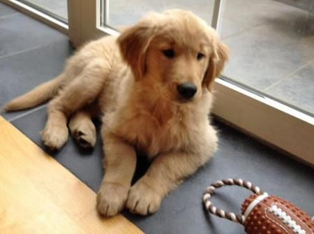 Riley The Golden Retriever Pictures 950697 Golden Retriever Golden Retriever Baby Golden Puppies