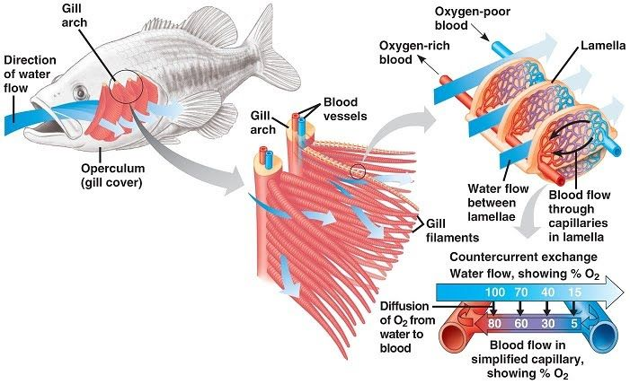 Fish Gills Google Search Biology Biology Notes Biology Lessons