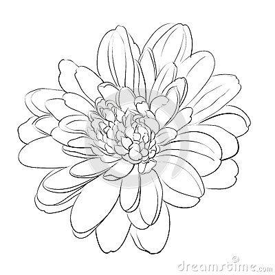 White Chrysanthemun Chrysanthemum Drawing Chrysanthemum Tattoo Flower Drawing