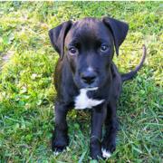 Boxador Puppies Picture G Allery 44 Photos Boxador Puppies Pitbull Mix Puppies Boxer Lab Mix Puppies