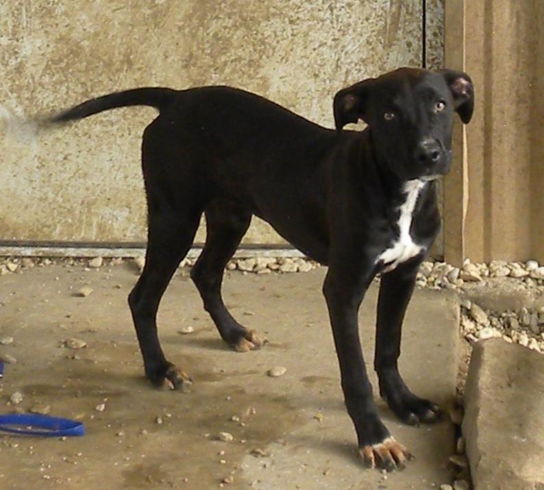 Adopt Dalya On Labrador Retriever Dog Domestic Dog Retriever Dog