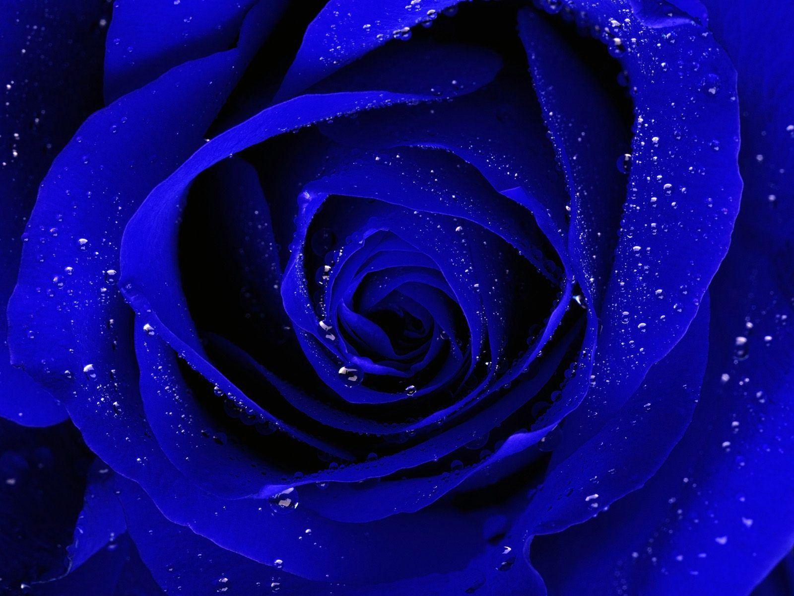 rose flower wallpaper hd wallpapers 1920x1080px ~ dark purple