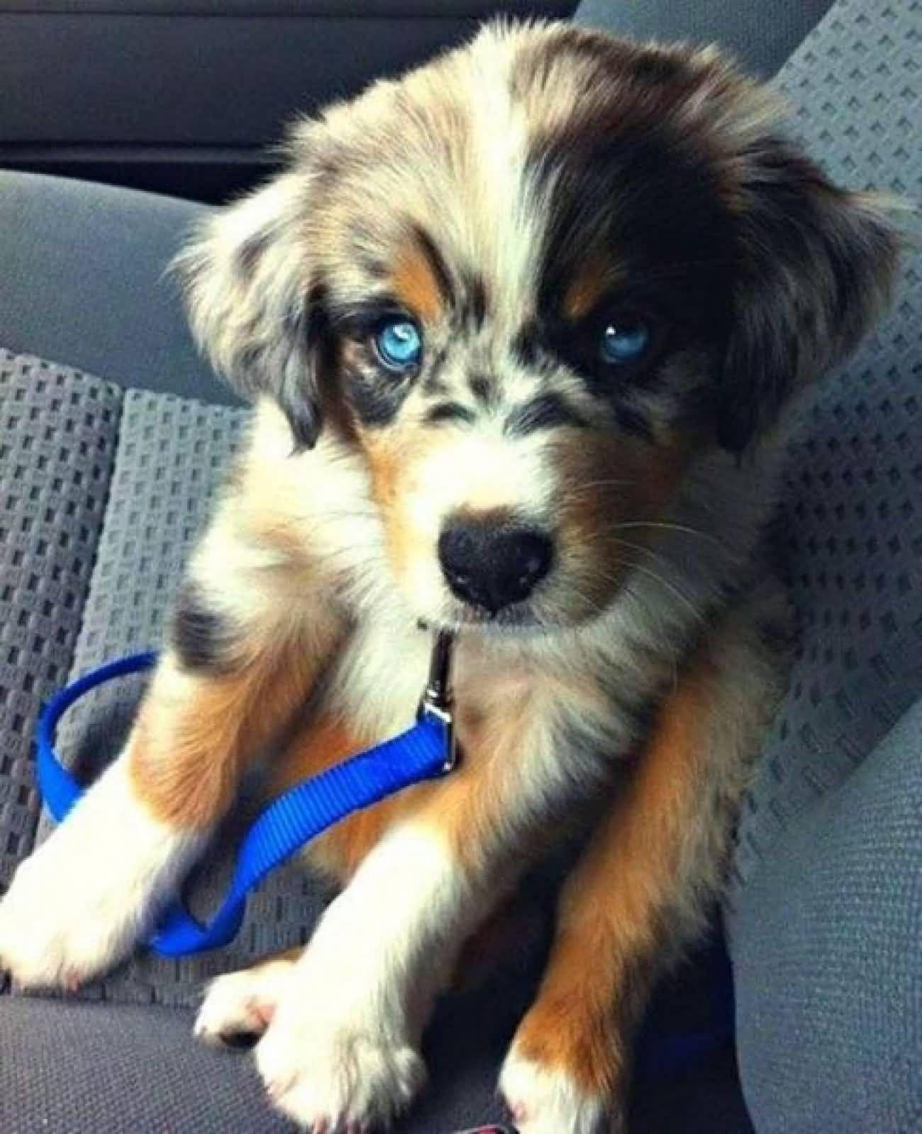 Blue Eyed Australian Shepherd Puppy In Car Dog Crossbreeds Cute