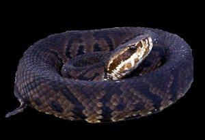 Venomous Snakes Harbor Deadly Brain-Swelling Virus / Click for interesting read.