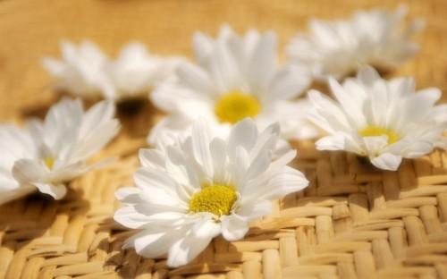 Cute Flower Desktop Backgrounds In 2020 White Flower Wallpaper Desktop Wallpaper Hd Wallpapers For Laptop
