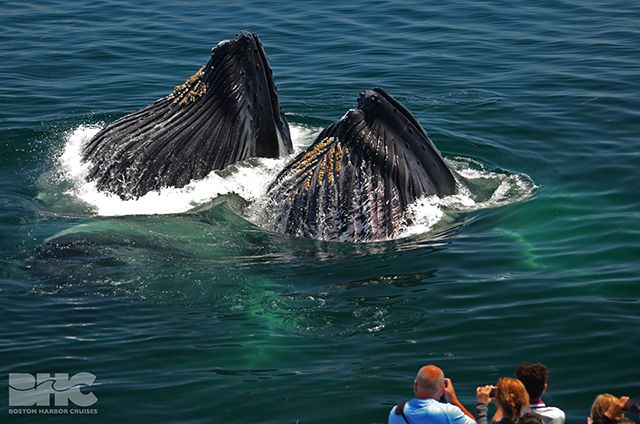 feeding whales | Whale, Whale watching, Largest whale