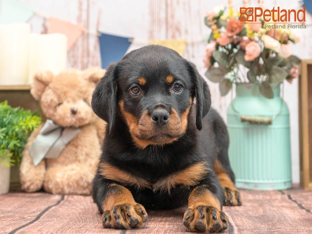 Puppies For Sale Petland Florida In 2020 Puppy Friends Puppies Rottweiler Puppies For Sale