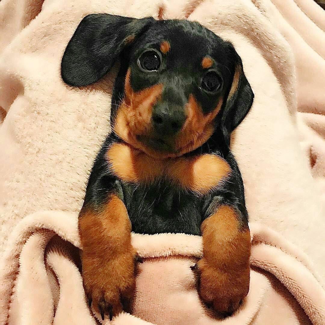 Картинки собак такс на телефон