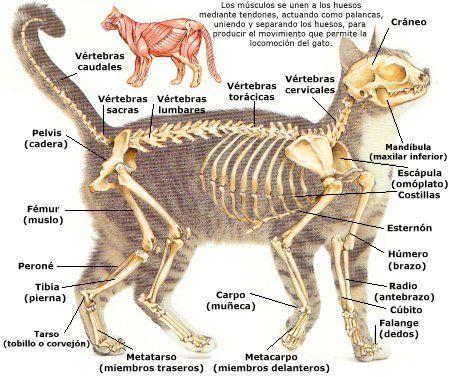 Enciclopedia De Animales Anatomia Del Gato El Esqueleto Anatomia Del Gato Anatomia Del Perro Anatomia Veterinaria