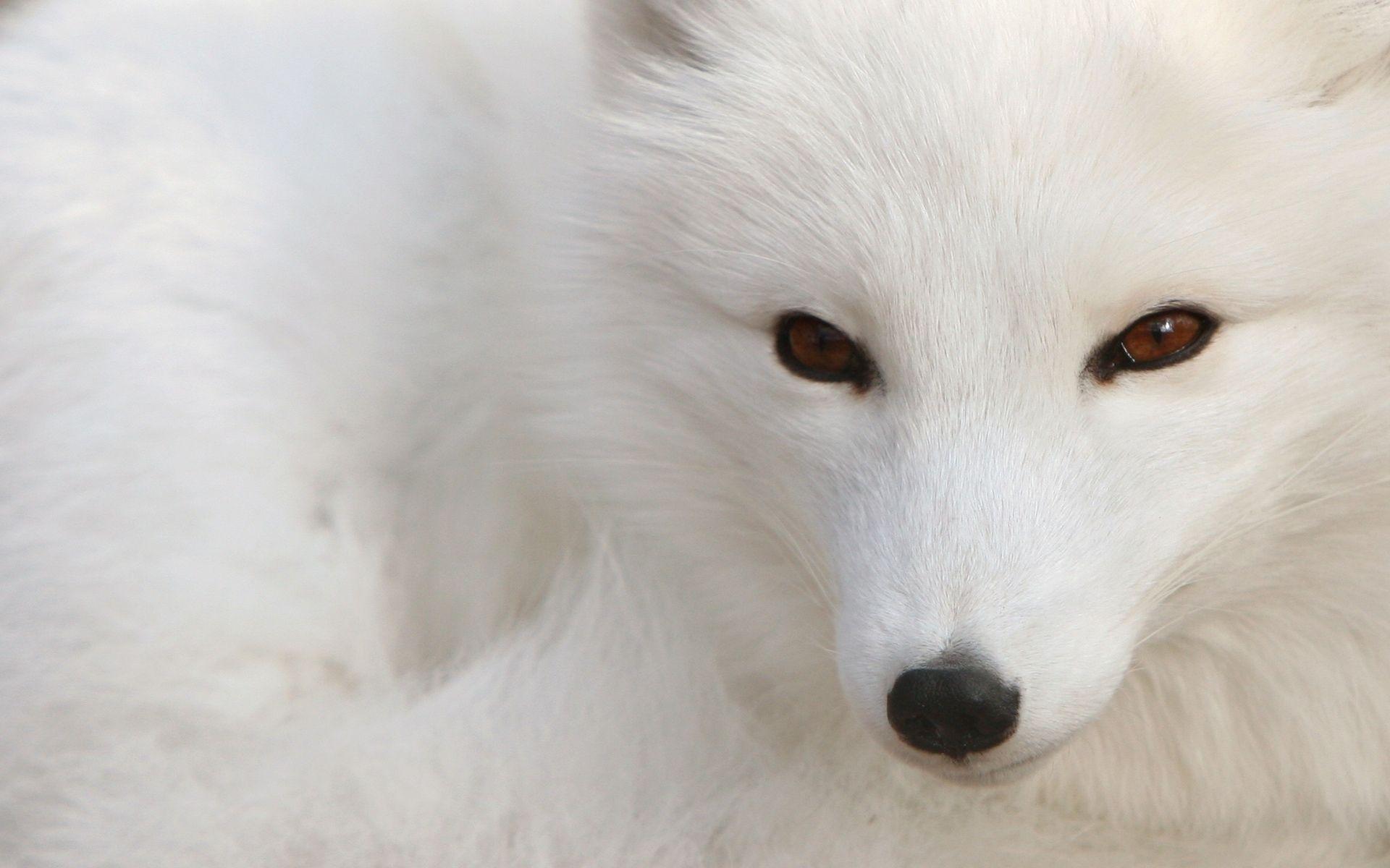 Snow Fox In HD Wallpaper