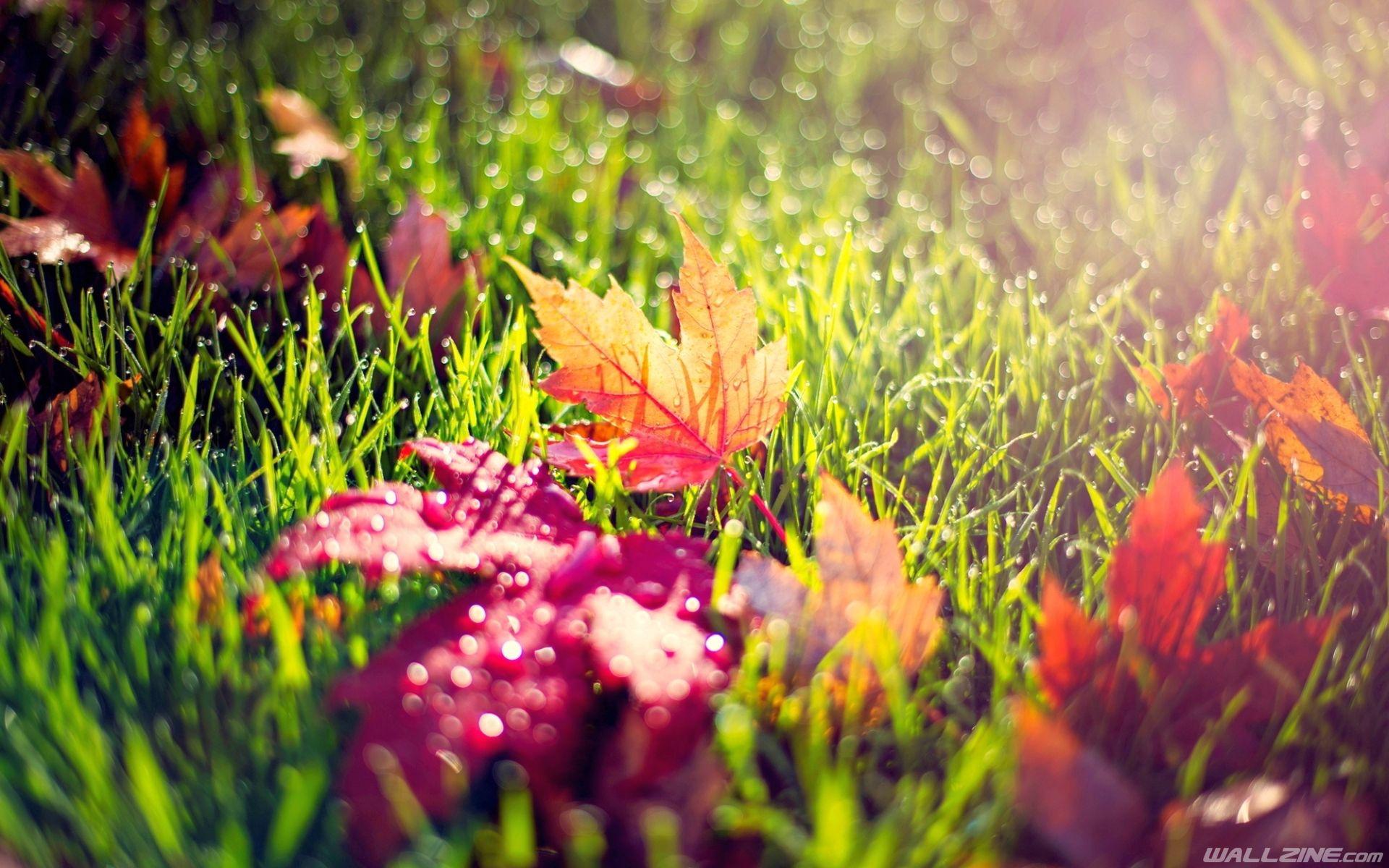 autumn leaves in morning dew wallpaper | hd desktop wallpapers
