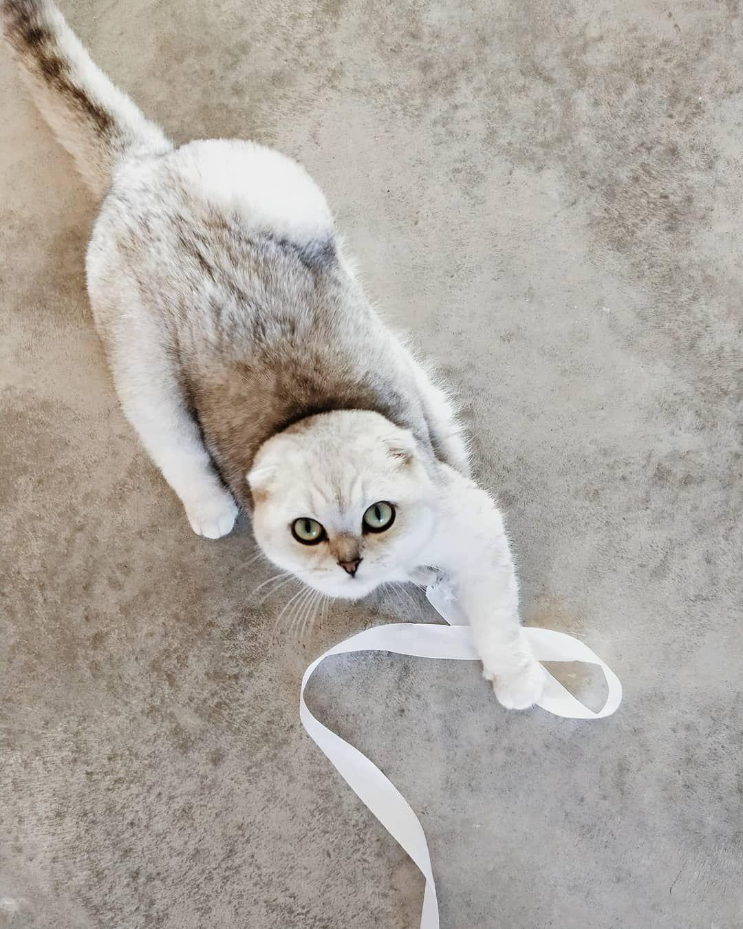 Scottish Fold Cat Mau Play Fleuralice Scottish Fold Cat