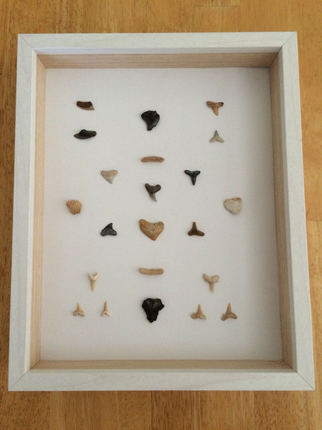 fossil shark tooth display shark mosaic fossils from bone valley