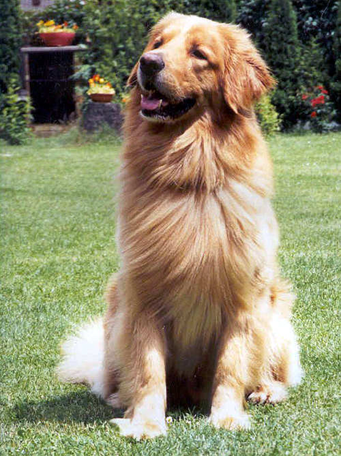 Hovawart Blond Dog Breed Info Dogs Dog Breeds