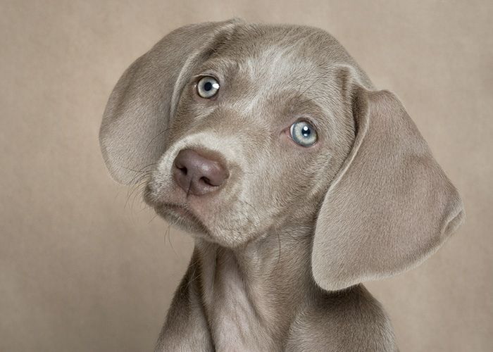 Little Hailey Weimaraner Puppies Puppy Pictures Dog Love