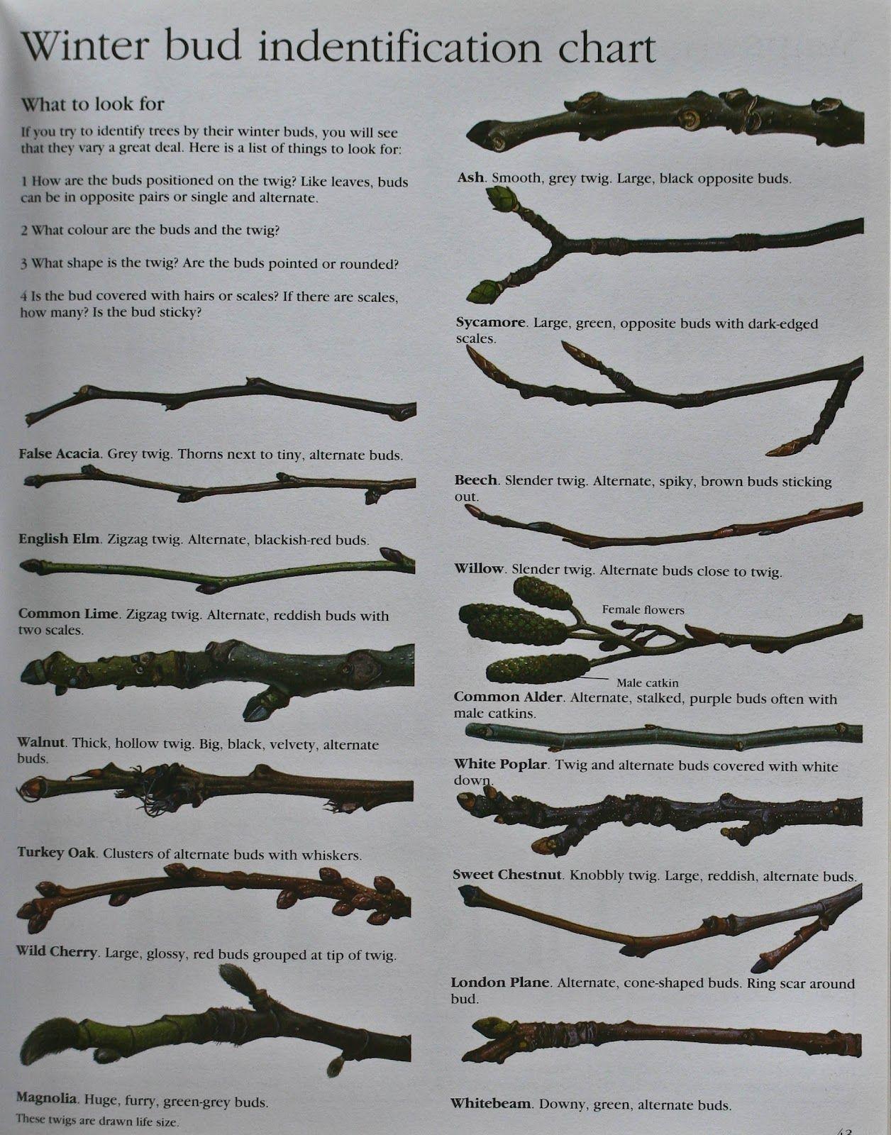 Winter Tree Bud Identification Chart Tree Buds Tree Identification Winter Trees