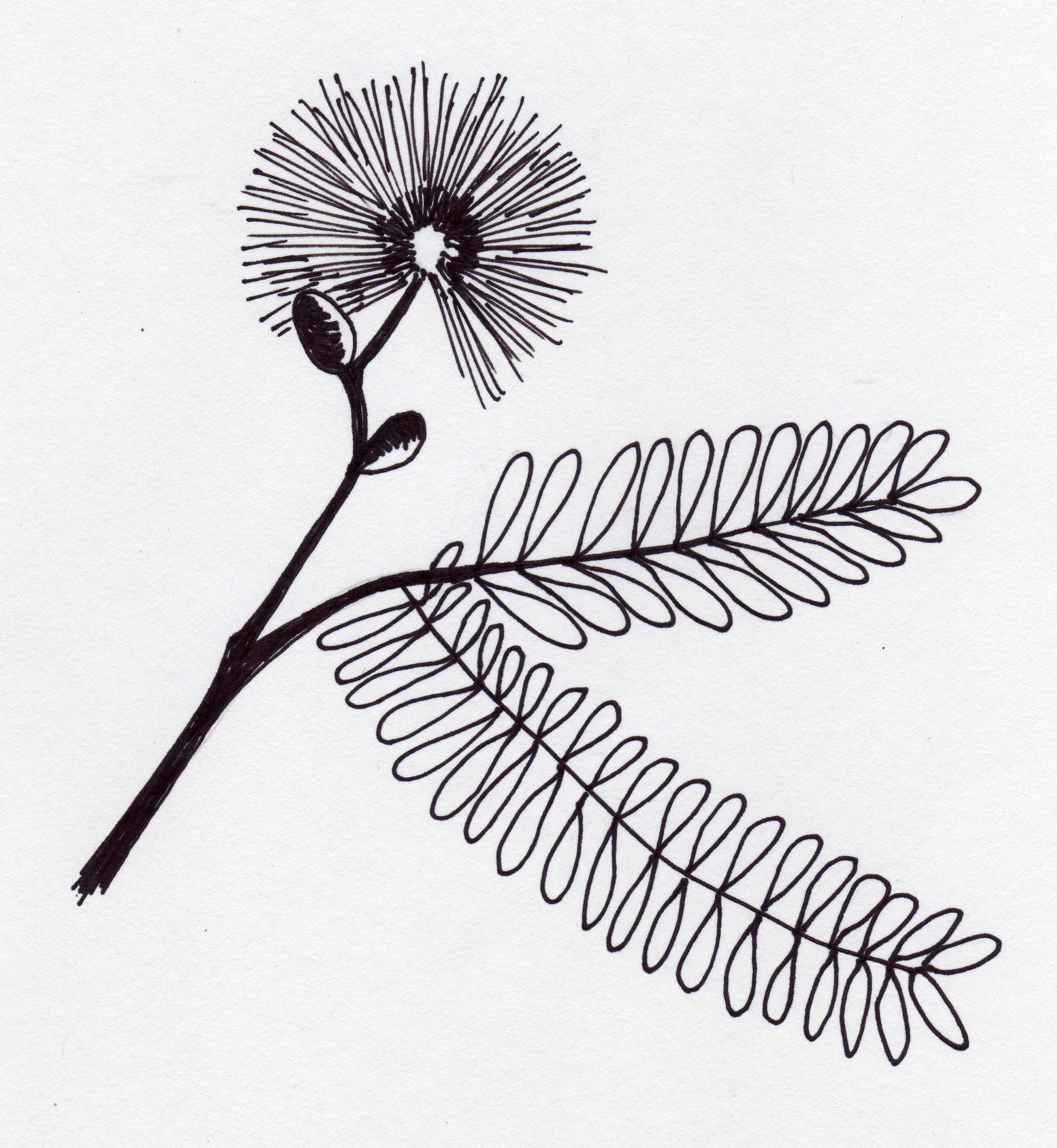 Mimosa Pudica Is Called Sensitive Plant And Tickle Me
