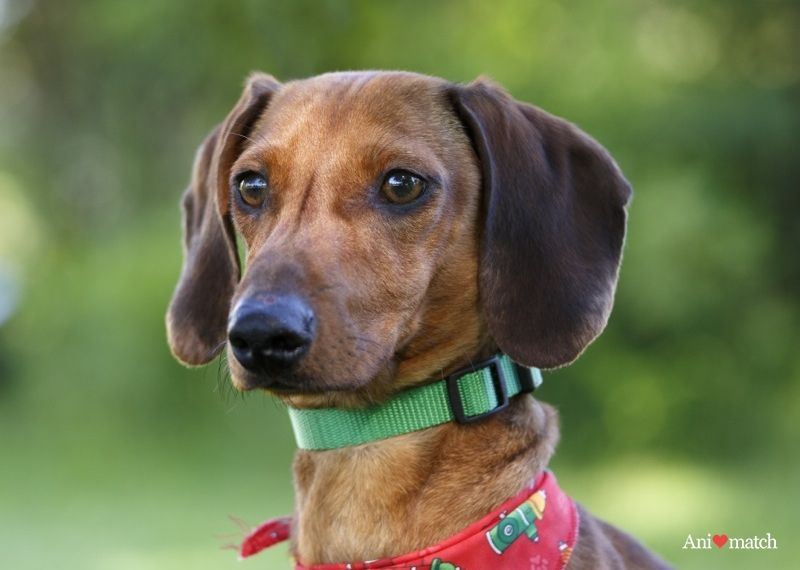 Pogo A Male Miniature Dachshund Available For Adoption From