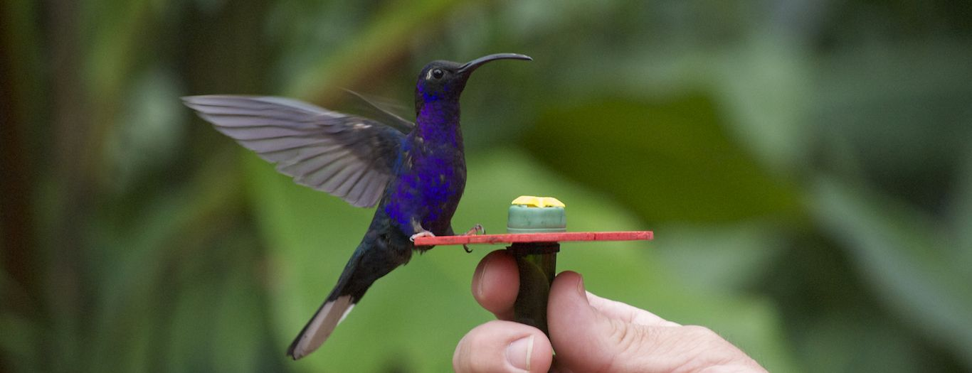 26 species of hummingbirds at La Paz Waterfall Gardens