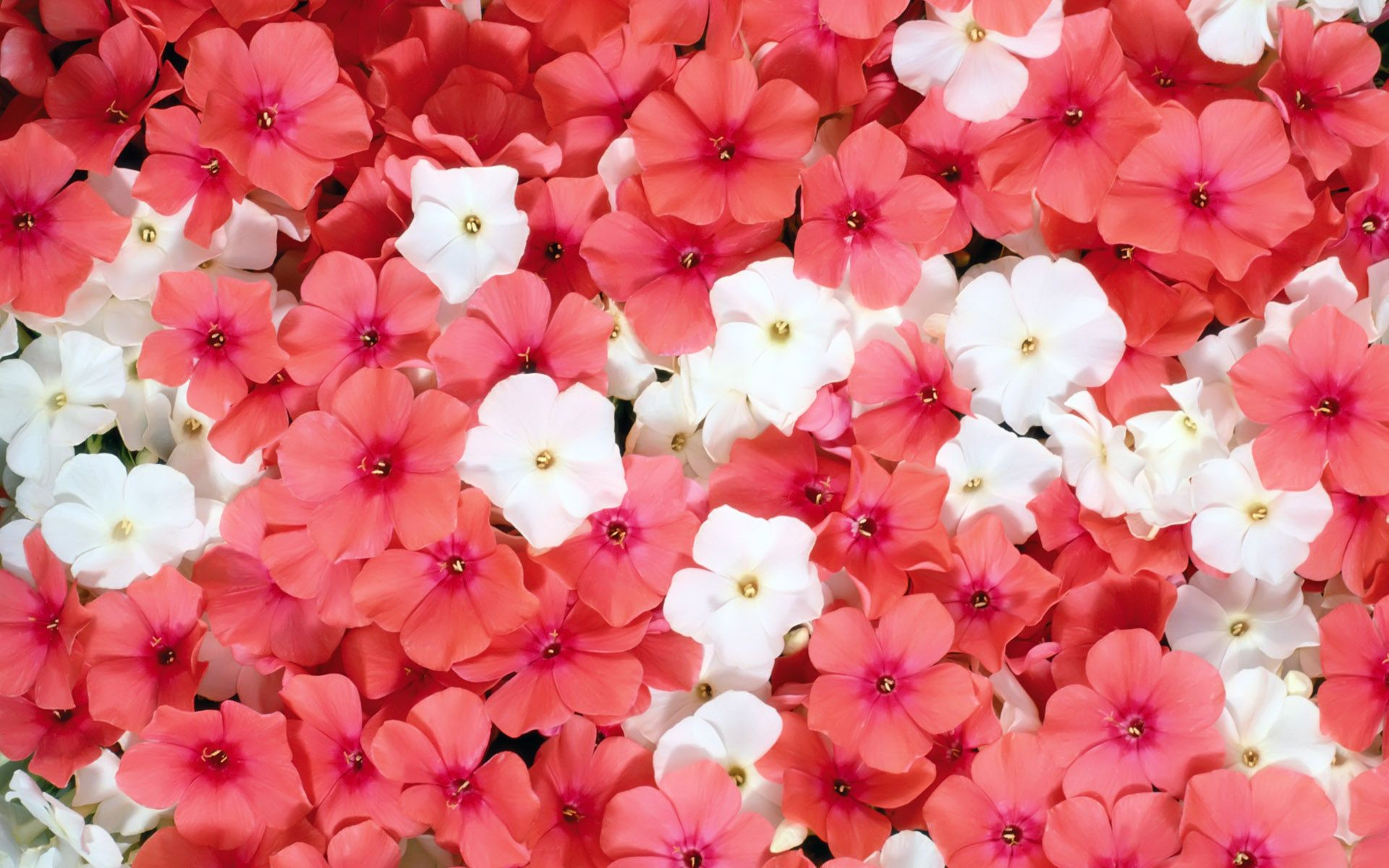 Pink Flowers 10277 1920x1200 Px Freewallsource
