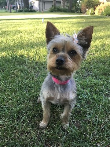 Yorkshire Terrier Puppy For Sale In Wyoming Mn Adn 33526 On