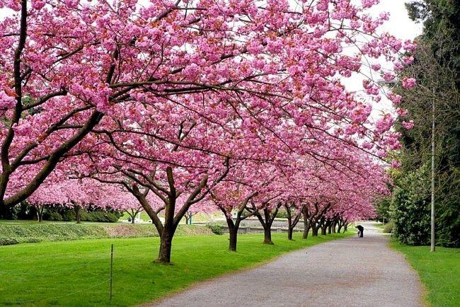 Yoshino Cherry Trees At The Quad Washington Yoshino Cherry Tree Japanese Cherry Tree Flowering Cherry Tree