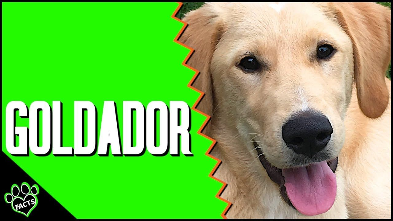 Goldador Golden Retriever Labrador Retriever Mix Designer Dogs