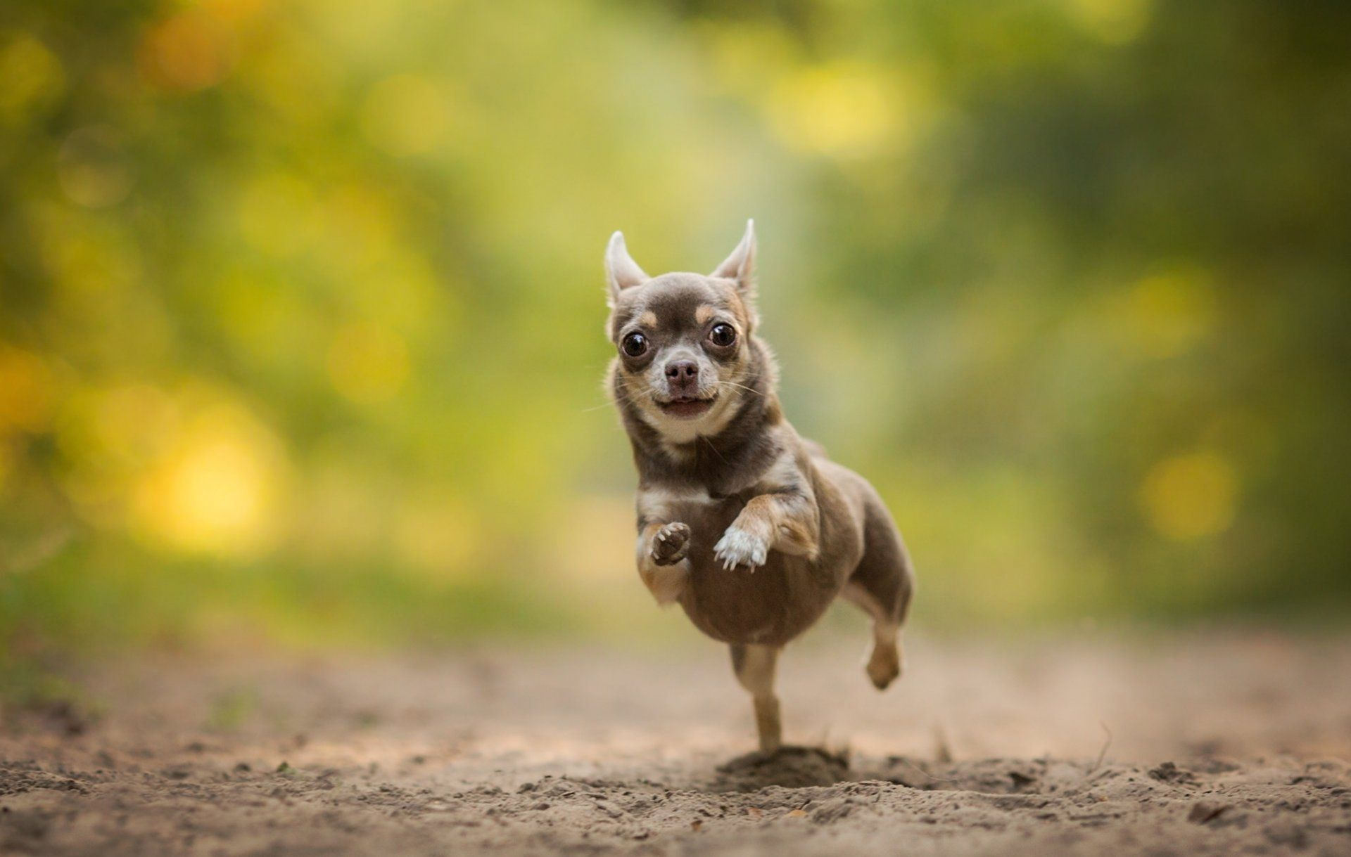 Free Chihuahua Wallpaper For Desktop Chihuahua Animals Chihuahua Dogs