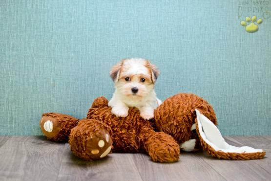 Teacup Stella Morkie Puppy For Sale In Johnstown Oh Buckeye