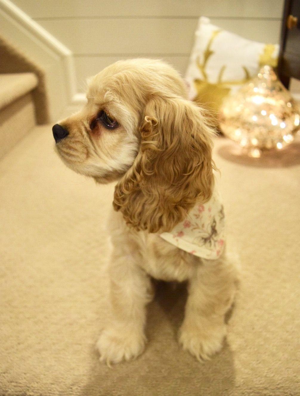 Cockerworld Hashtag Instagram Posts Videos Stories On Somegram Com Spaniel Puppies Cocker Spaniel Puppies Cute Dogs