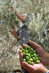 Lucca Olive Tree Toscana Italia